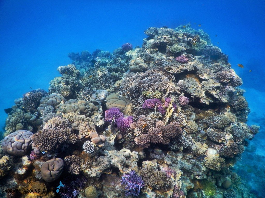 Pink hard corals in the Red Sea