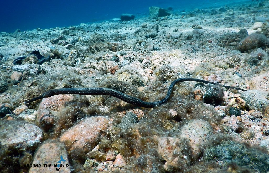 Pipefish Red Sea Egypt