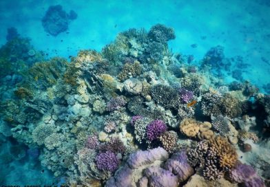 Purple and pink corals Red Sea