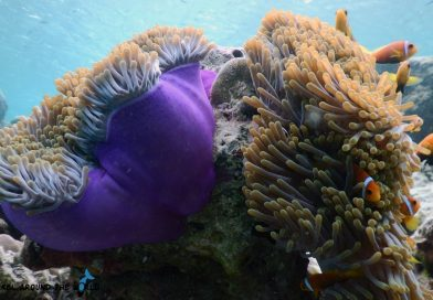 Purple Anemone Maldives