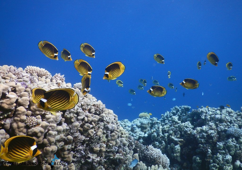 Raccoon Butterfly fish - Red Sea