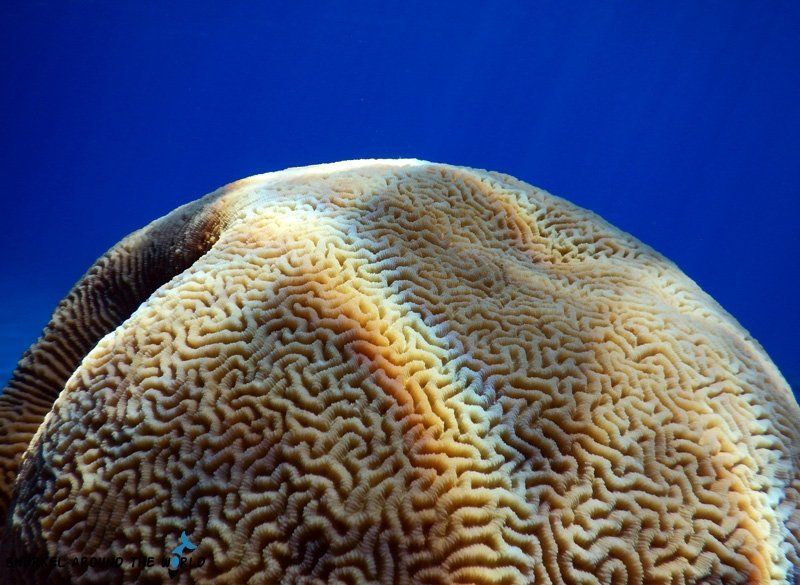Brain coral - Ras Bob Egypt