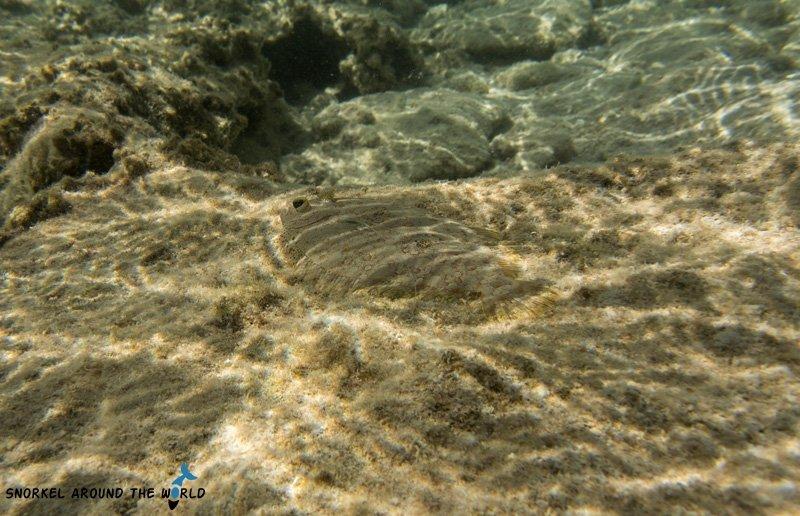Ras Bob Egypt Flatfish