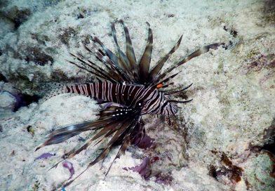 Ras Ghamila - Lionfish