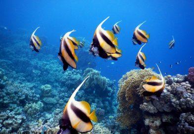 Ras Ghamila - banner fish