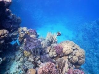 Red Sea - Eagle Ray - Egypt