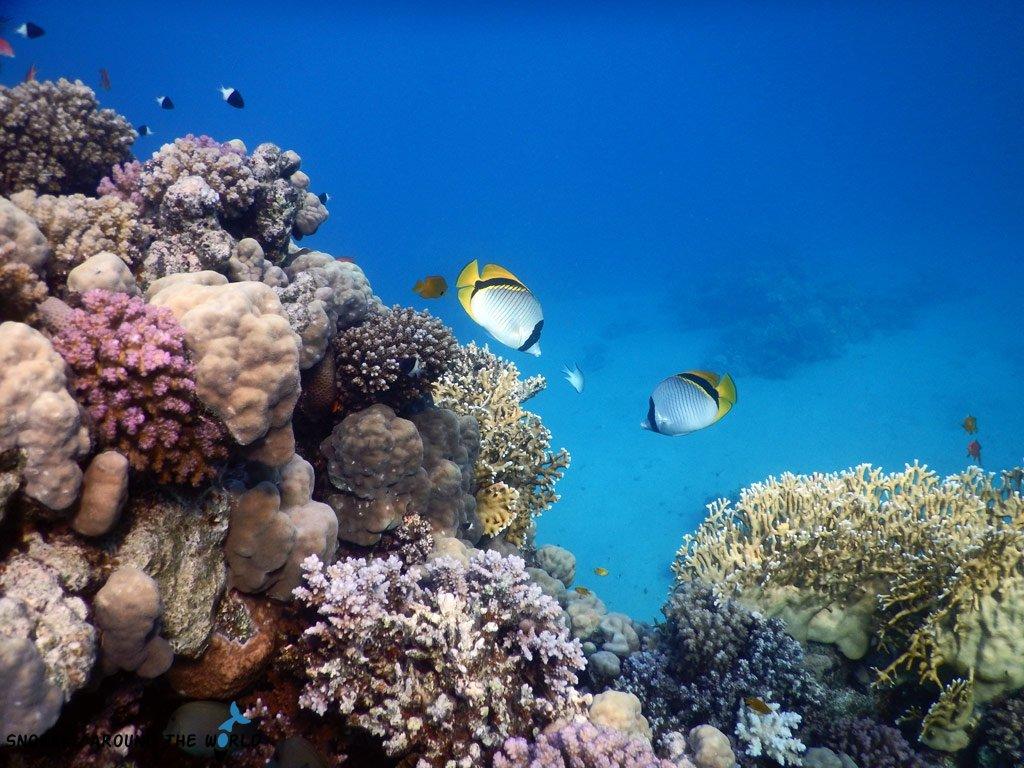 Red Sea butterflysfish - Sharm el Sheikh diving