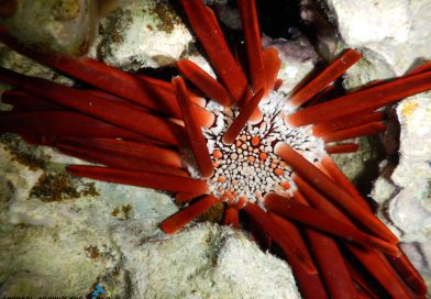 Red Sea sea urchin