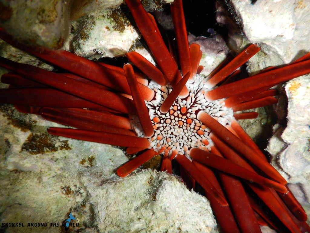 Red Sea sea urchin