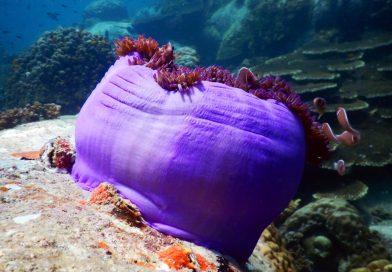 Sai Daeng Beach - Clownfish