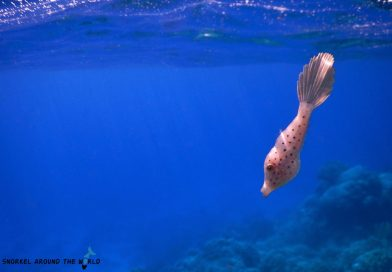 Scrawled filefish - Red Sea visibility
