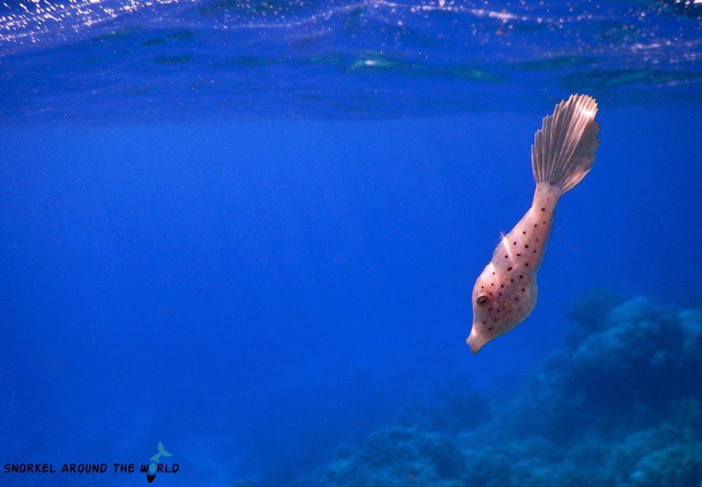 Scrawled filefish - Red Sea visibility