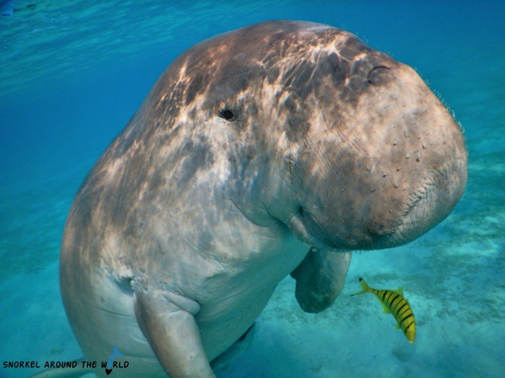 Sea Cow - Red Sea Egypt