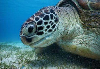 Sea Turtle in Red Sea