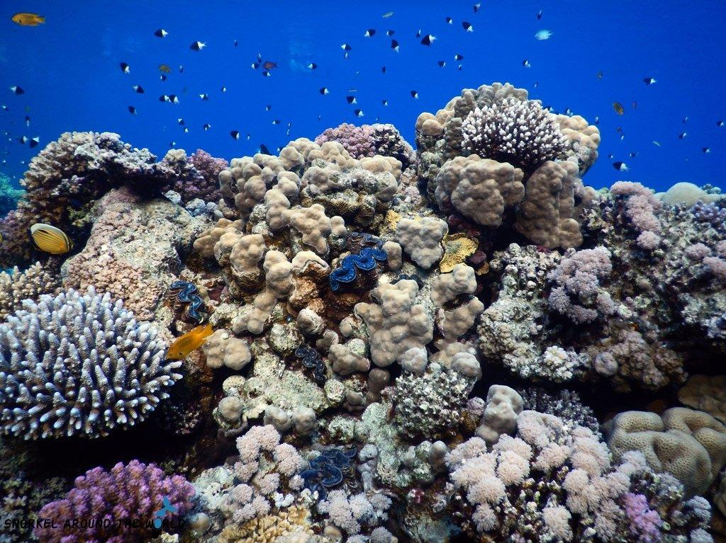 Sea clam Sharm el Sheikh snorkelling