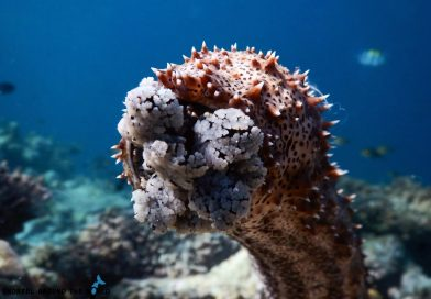 Sea cucumber - Maldives