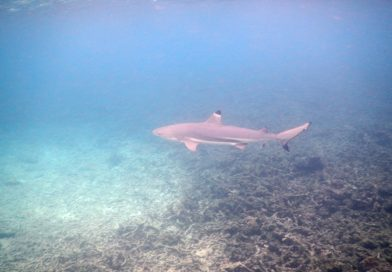 Sharks Bay - Reef Shark