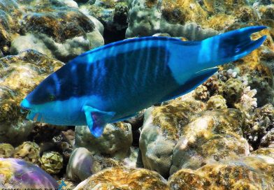 Sharm El Sheikh - Parrotfish