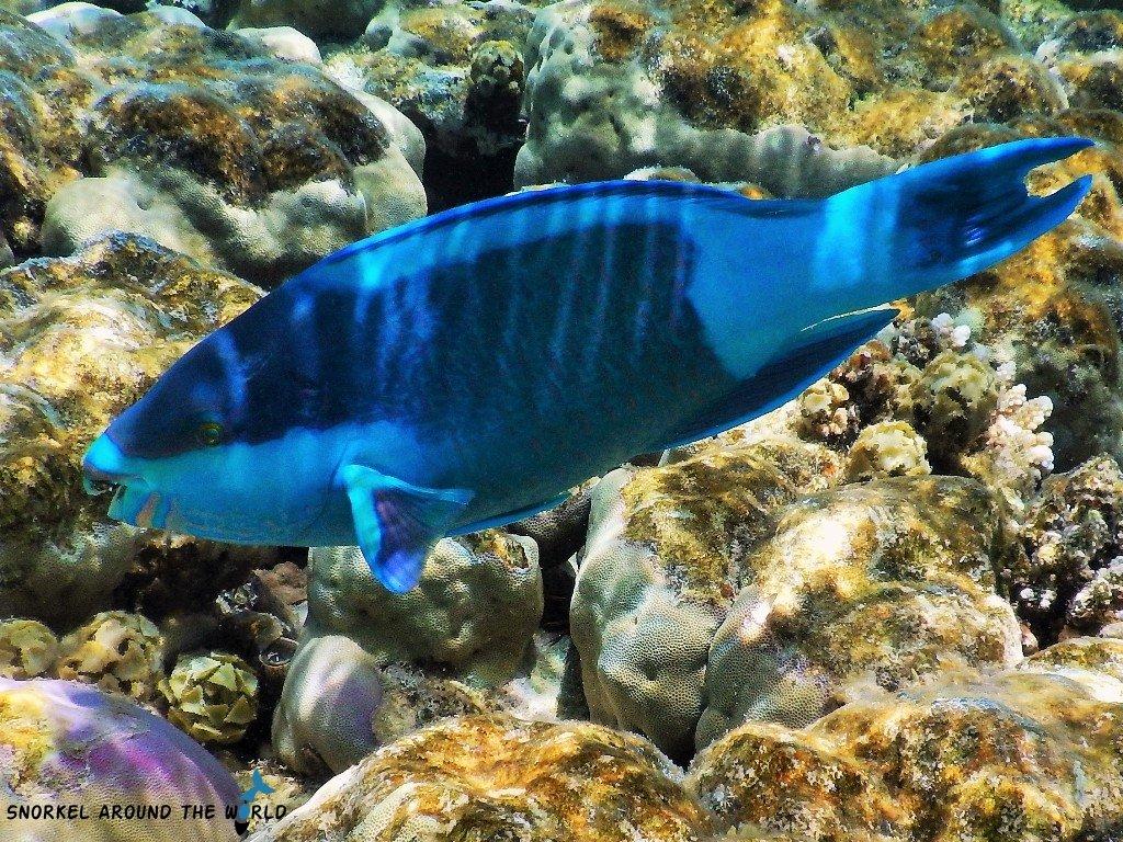 Sharm El Sheikh - Parrotfish