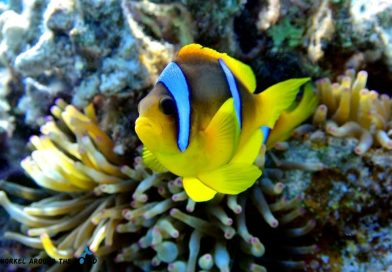 Sharm El Sheikh - Ras Kathy clownfish