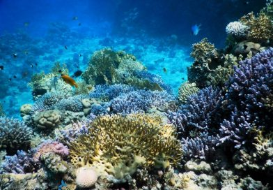 Sharm El Sheikh - Ras Kathy - Blue corals