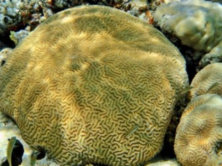 Sharm El Sheikh - Temple Reef- Brain Coral