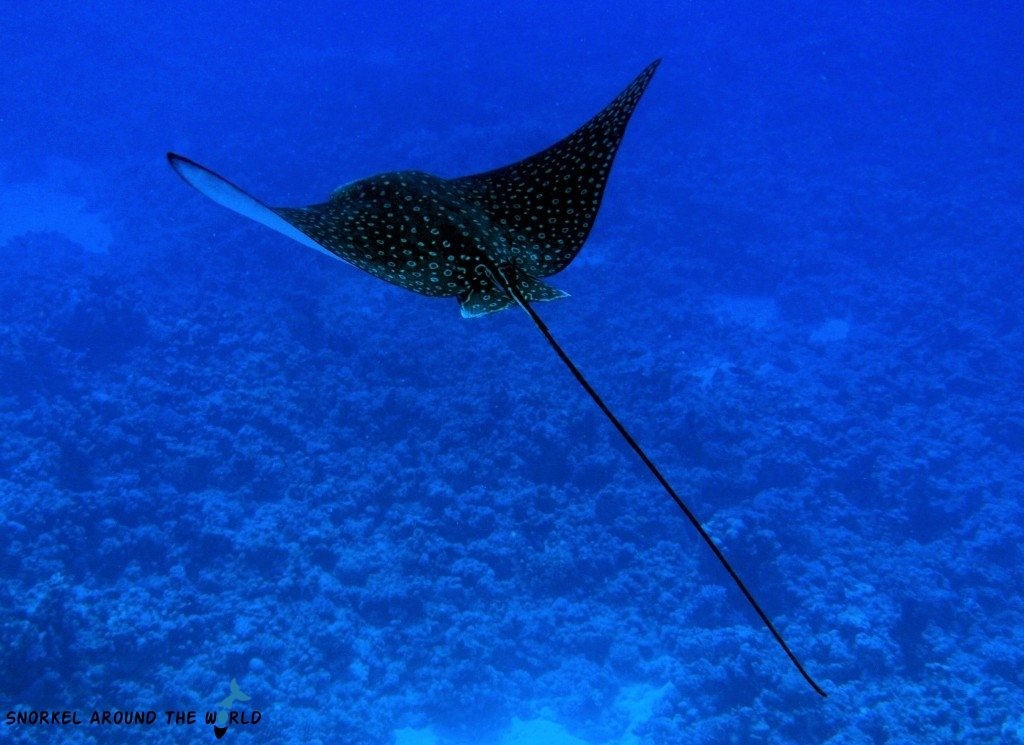Sharm El Sheikh - Temple Reef - Eagle Ray