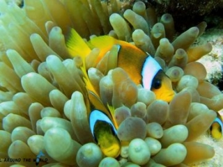 Sharm El Sheikh - clownfish
