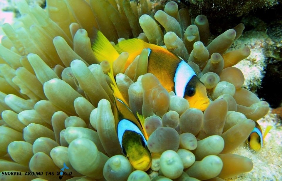 Sharm El Sheikh - clownfish