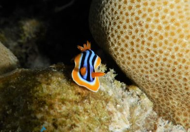 Sharm el Sheikh Egypt Red Sea yellow black nudibranch