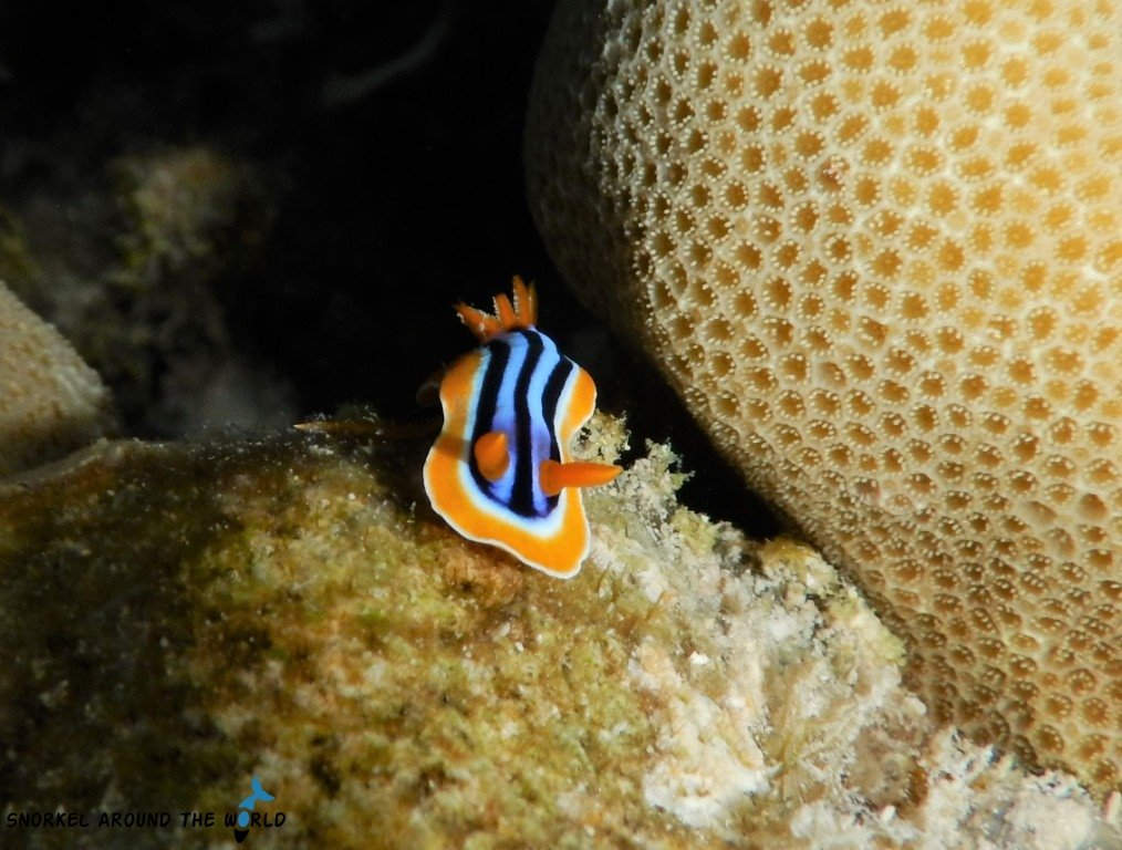 Sharm el Sheikh Egypt Red Sea yellow black nudibranch