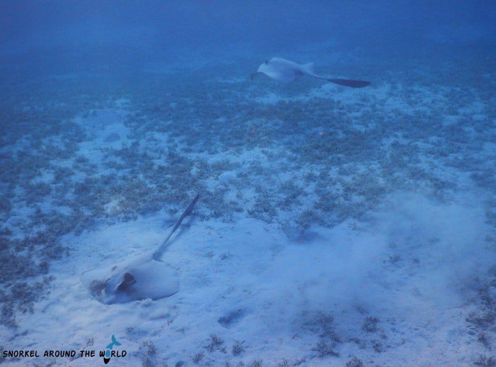 Stingrays Sharm el Sheikh