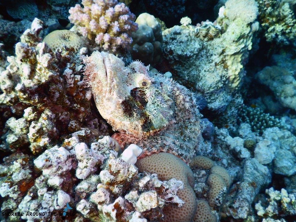 Stonefish Red Sea underwater
