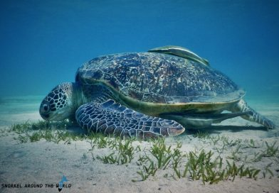 Turtle feeding Red Sea