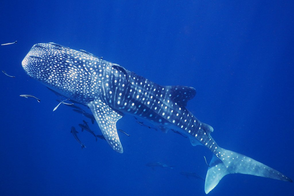 Whale shark on Thailand