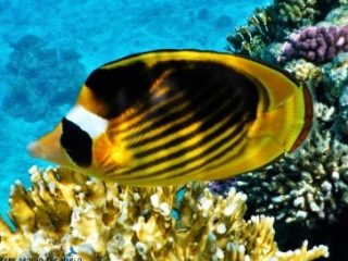 Yellow black butterflyfish Red Sea