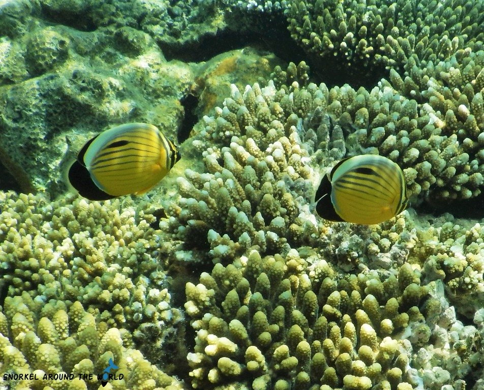 Yellow butterflyfish Red Sea