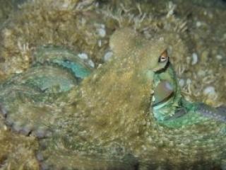 Octopus Adriatic Sea Croatia