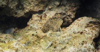 Sea blenny Croatia