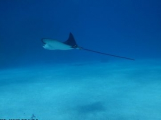 Where to see eagle ray in Egypt