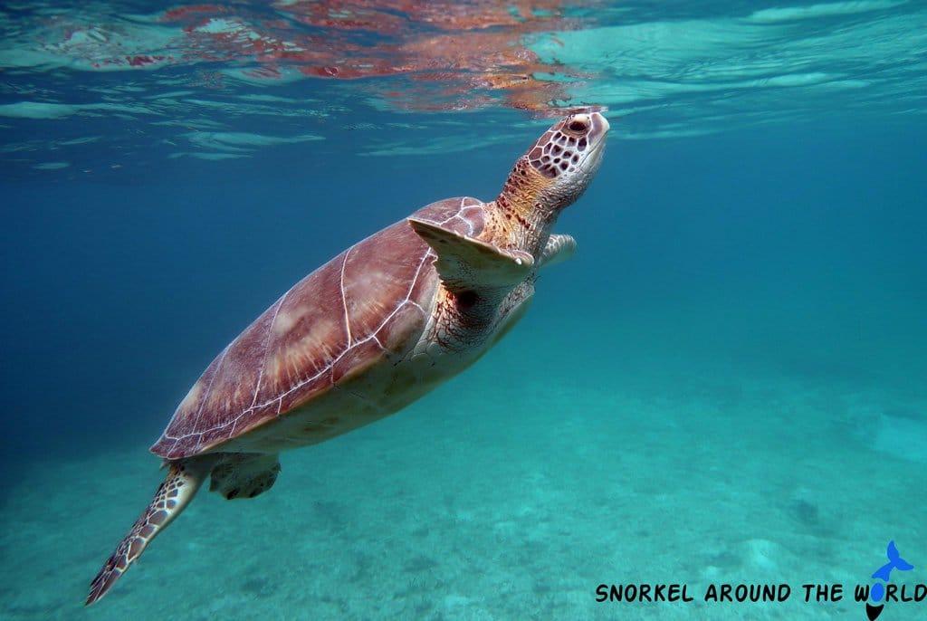 Snorkeling with sea turtles in Akumal