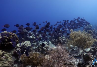 Atlantic Blue Tang group - Aruba