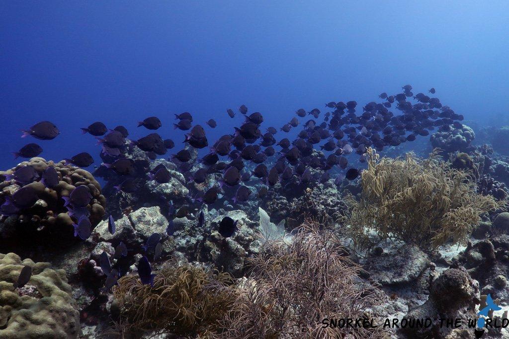 Atlantic Blue Tang group - Aruba