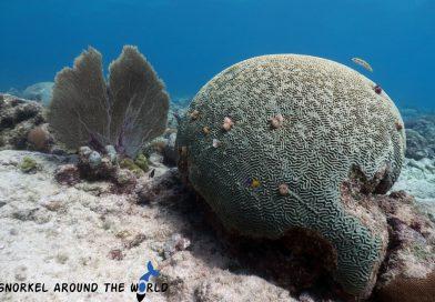 Braincoral - Caribbeansea