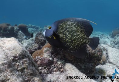 Caribbean - Angelfish - Aruba
