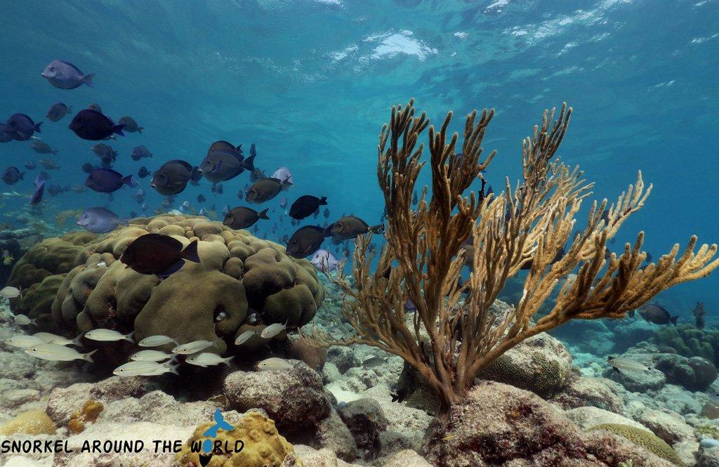 Atlantic BlueTang - Caribbean