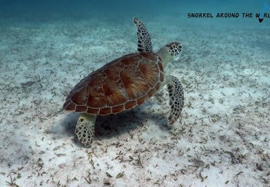 Sea turtle - Malmok beach Aruba