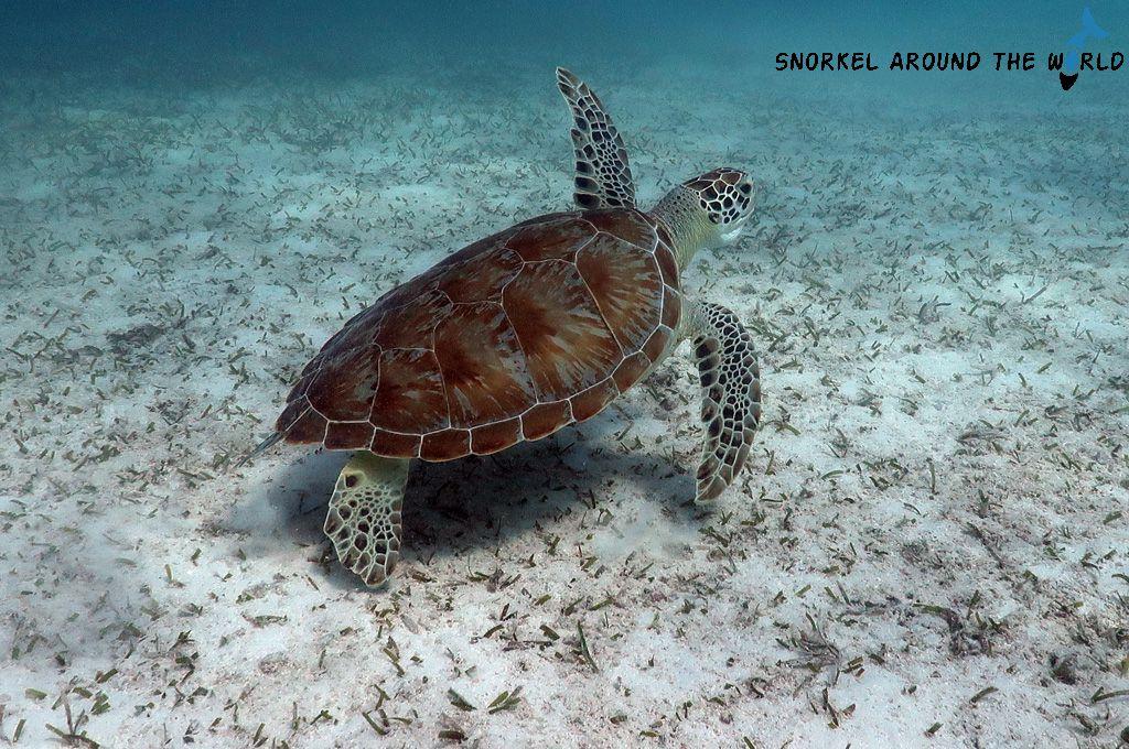 Sea turtle - Malmok beach Aruba