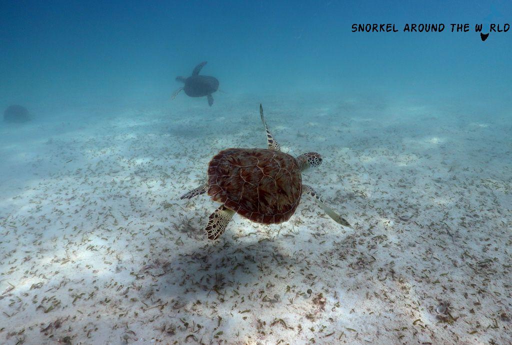 Turtle on Boca Catalina Beach-Aruba