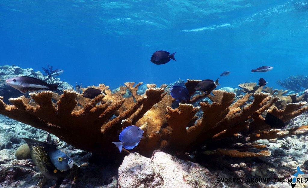 Caribbean reef fish